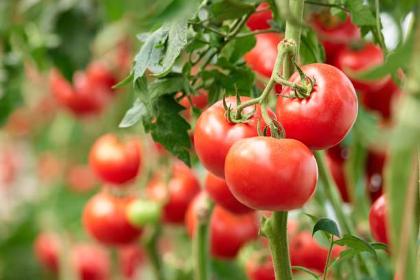 trois tomates mûres sur la branche verte. - tomate photos et images de collection