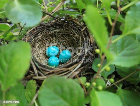 istock Three robin's eggs in a nest 168280385
