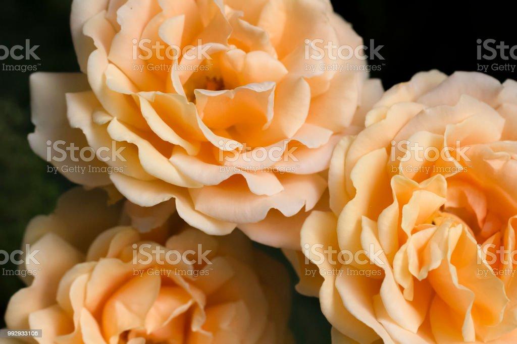 Three Roses orange stock photo