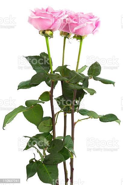 Three roses picture id110937241?b=1&k=6&m=110937241&s=612x612&h=g t3wc jbzljngrww7v56kgfuy99umeyhvh3unqyrgu=