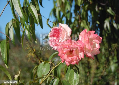 Three roses stand against a bright morning scene