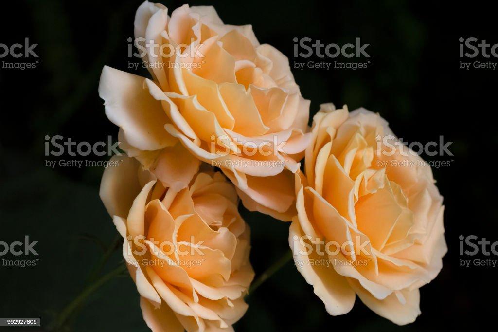 Three Roses soft orange stock photo