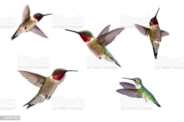 Three ruby throated hummingbirds isolated on white picture id155597392?b=1&k=6&m=155597392&s=612x612&h=bnez 5vf zssovfxfrhvvophg4 h8fyyqu3rac6rx5i=