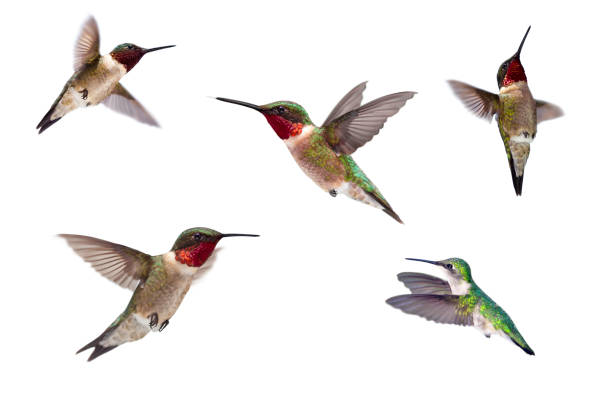 Three ruby throated hummingbirds isolated on white picture id155597392?b=1&k=6&m=155597392&s=612x612&w=0&h=hiqnwerpaialshravkc8v44cyyvb8u7pel8kh9mb ee=