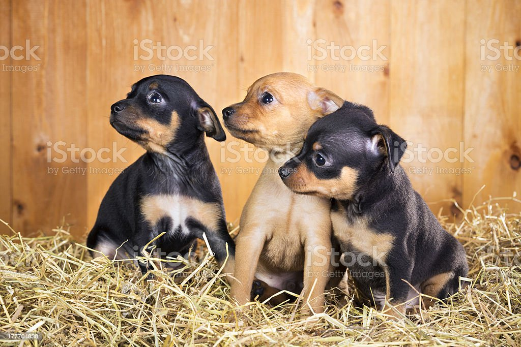 Three Russian Toy Terrier puppies stock photo