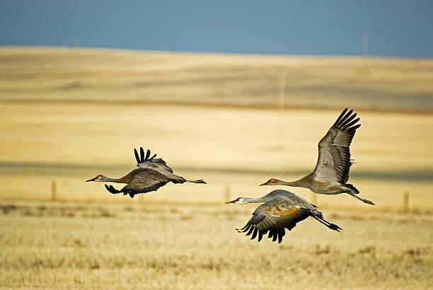 Three Sandhill Cranes Taking Flight From Field stock photo