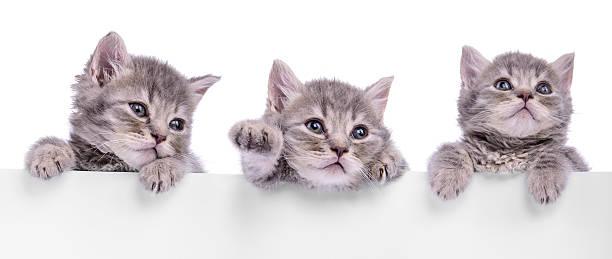 Three scottish kitten picture id495672447?b=1&k=6&m=495672447&s=612x612&w=0&h=g7yasyognnqandprx8tuwkmbzzixn5h33njublmfsyi=