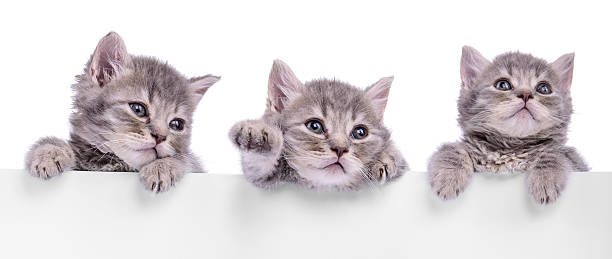 Tres Scottish mascota - foto de stock