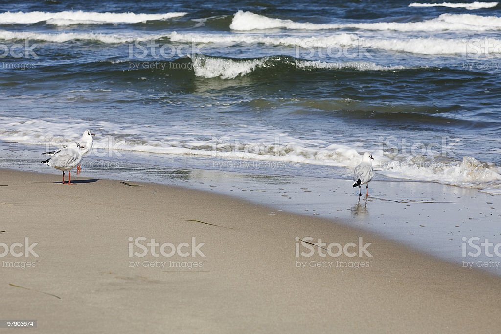 Three seagulls royalty-free stock photo