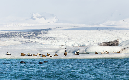 Three seals swimming by a group of eider ducks (Somateria mollissima) on floating iceberg at the base of the Vatna glacier in Jokulsarlon, Iceland