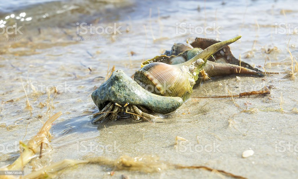 Three seashells on  beach. One of them was  hermit crab royalty-free stock photo
