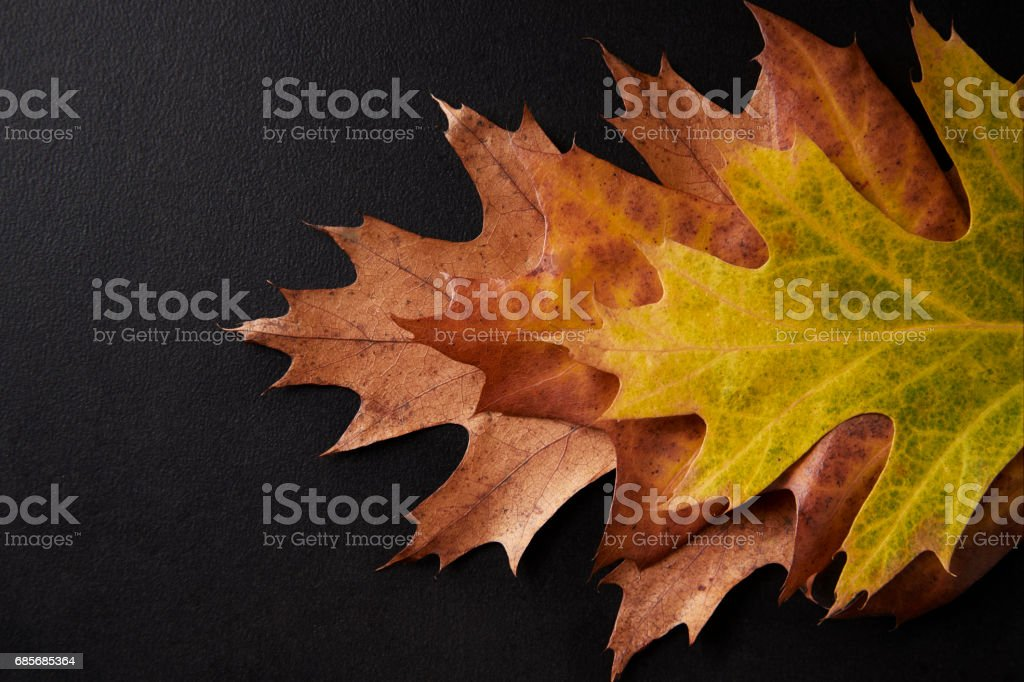 Three shades of autumn leaves arranged on a black background foto de stock royalty-free