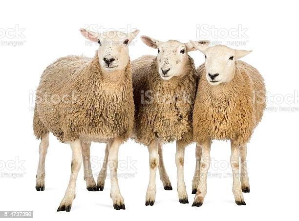 Three sheep against white background picture id514737396?b=1&k=6&m=514737396&s=612x612&h=eqctkyttzovtp9txt9 e69e2hb7j1aryhmh uzar aq=
