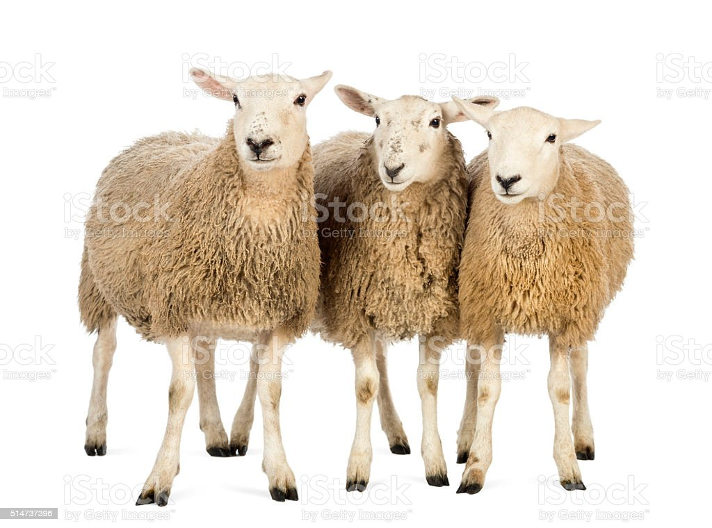 Three Sheep against white background stock photo