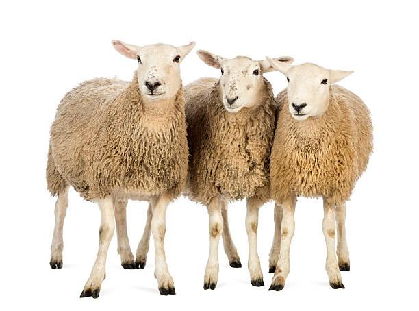 Tre pecore su sfondo bianco - foto stock