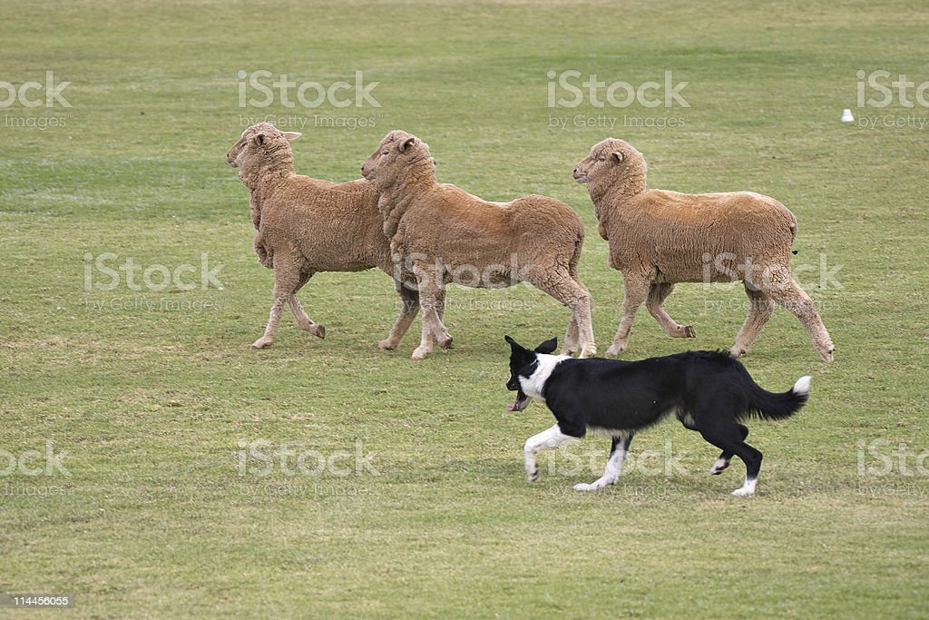 Three sheep being rounded up by a dog stock photo
