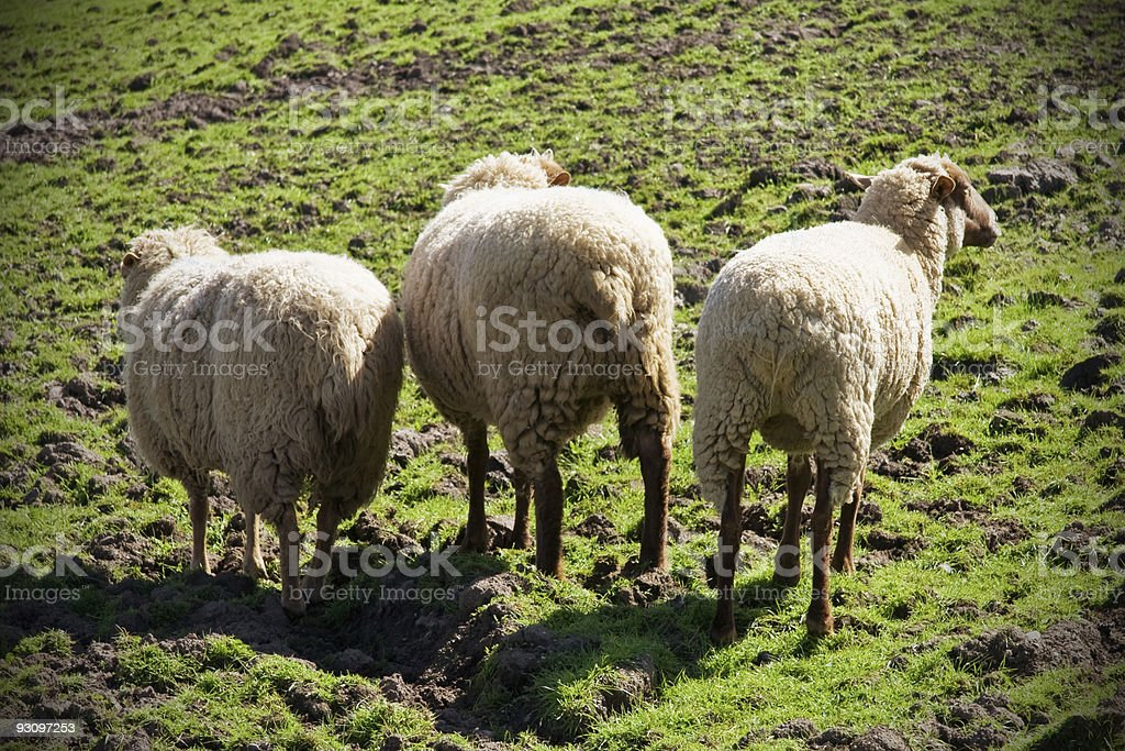 Three Sheep in a Field royalty-free stock photo