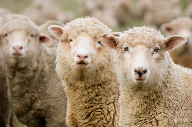 Three Sheep in a Row Three sheep (ewes) isolated within a mob all looking in the same direction (to the viewer). merino sheep stock pictures, royalty-free photos & images