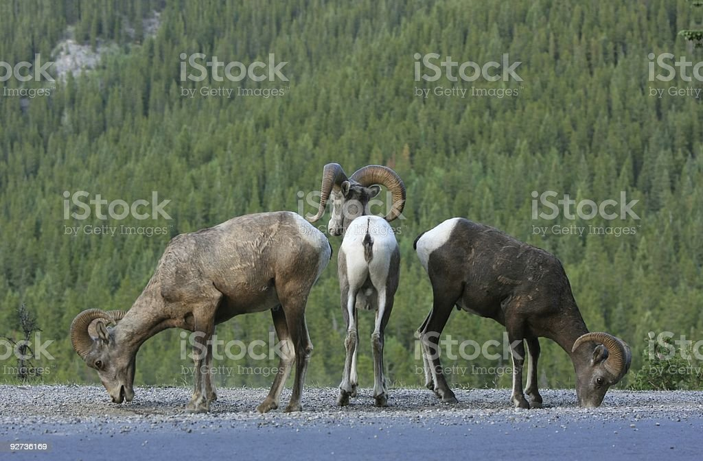 Three Sheep in Formation - Royalty-free Alberta Stock Photo