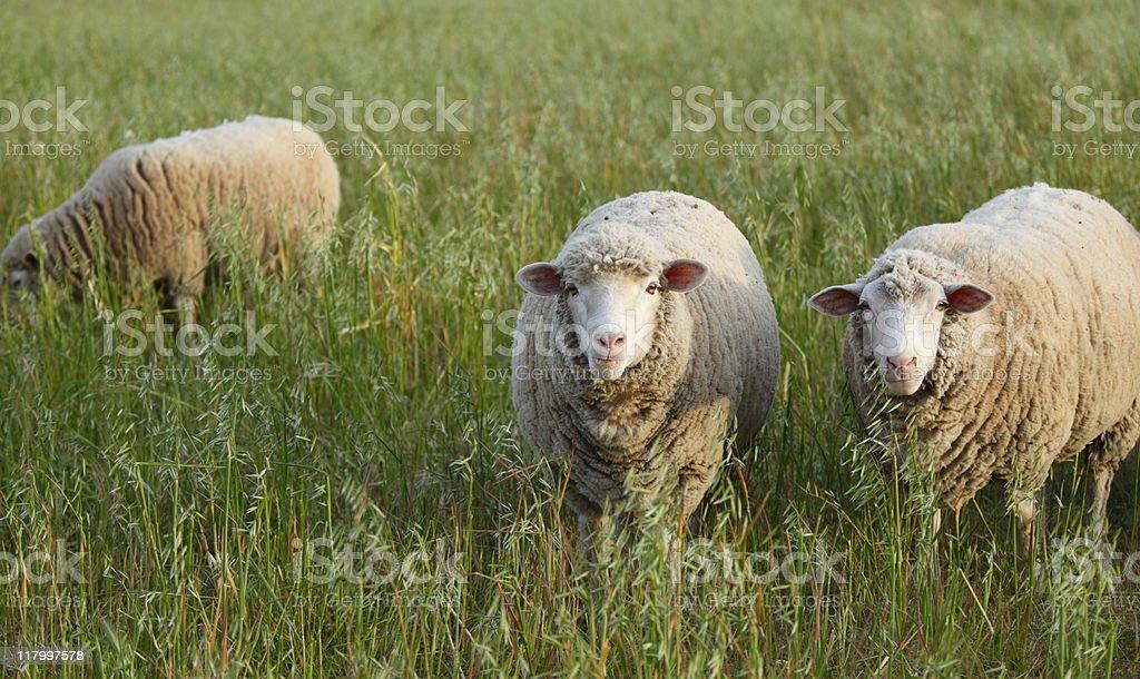 Three sheep royalty-free stock photo