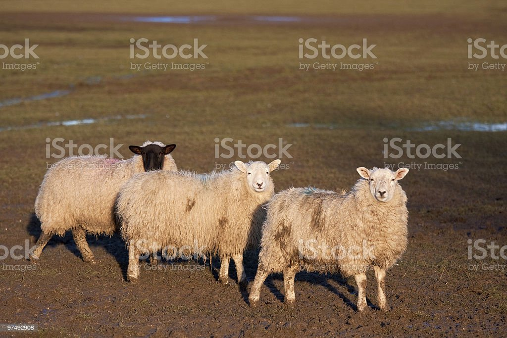 Three sheep standing in a row royalty-free stock photo
