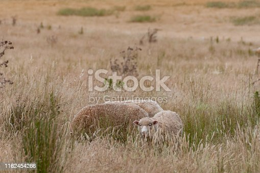 Three sheep with thick fleece grazing on a paddock in Australian countryside. Rural outback scene