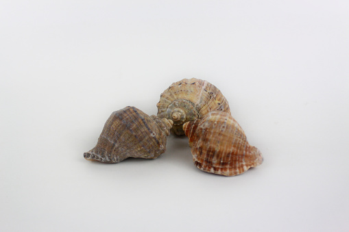 Three shells face to face isolated on white background