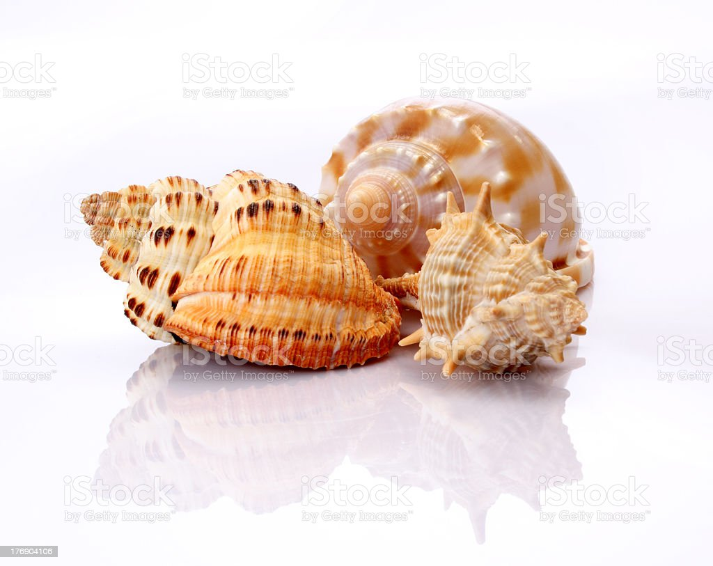 Three shells from the beach on white stock photo