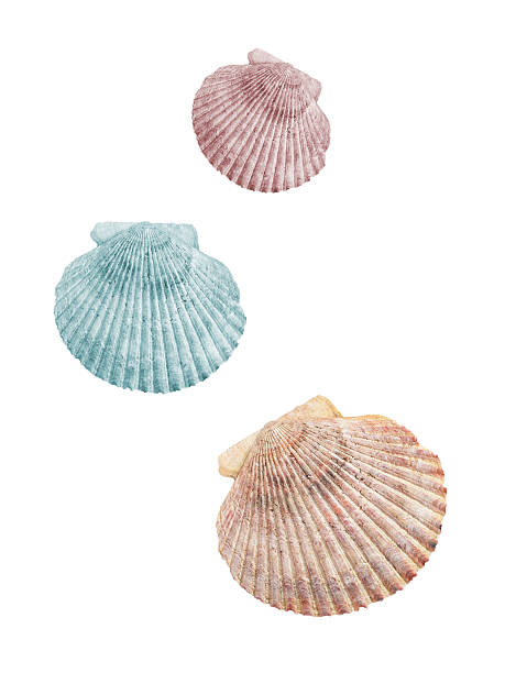three shells isolated - pink and orange seashell background stockfoto's en -beelden