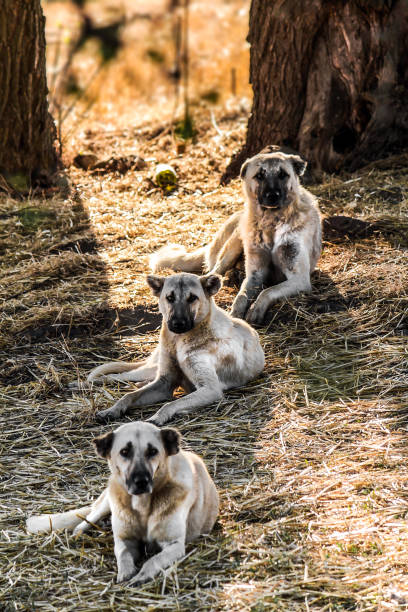 three shepherd sheepdogs sitting on dirt vertically three shepherd sheepdogs sitting on dirt vertically anatolia stock pictures, royalty-free photos & images