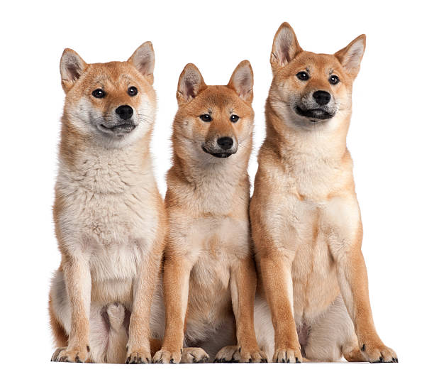 Three Shiba Inu Puppies Stock Photos, Pictures & Royalty ...