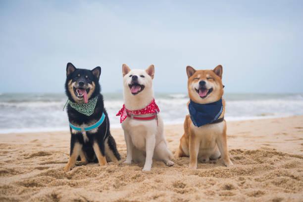 Three Shiba Inu sitting on the beach – zdjęcie