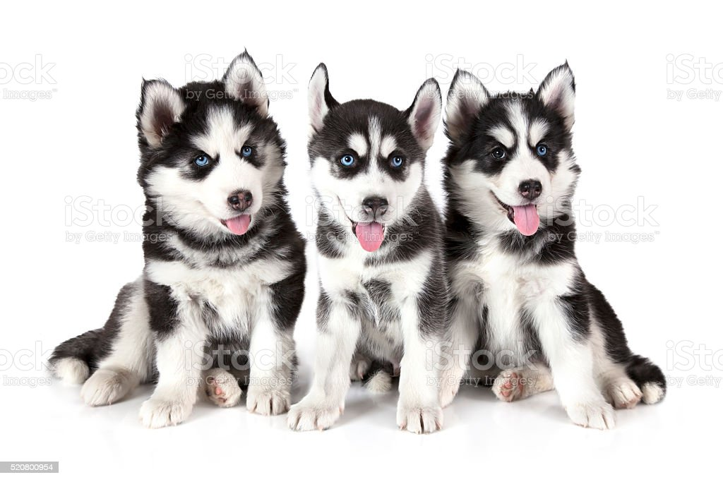 Three Siberian Husky Puppies Over White Stock Photo Download Image Now Istock