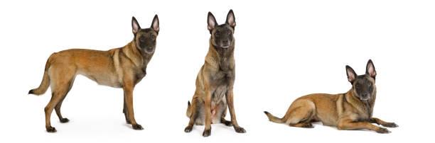 Tres perros pastores belgas pedigrí similares Malinois en un blanco - foto de stock