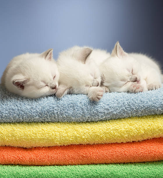 Three sleeping british baby kittens on colorful towels picture id162335445?b=1&k=6&m=162335445&s=612x612&w=0&h=mxhdf ugk po wkoj0f3vlqtrrhoxva5ilgfvd 58k4=