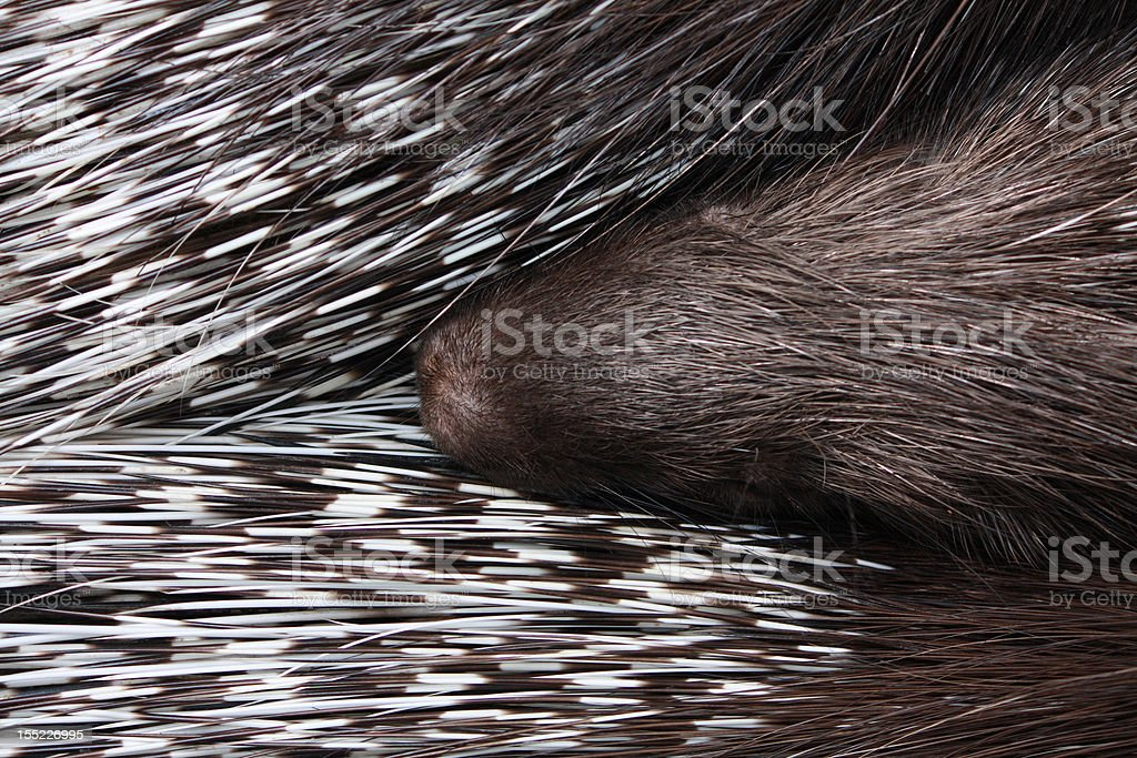 three sleeping porcupines texture with snout in the middle royalty-free stock photo