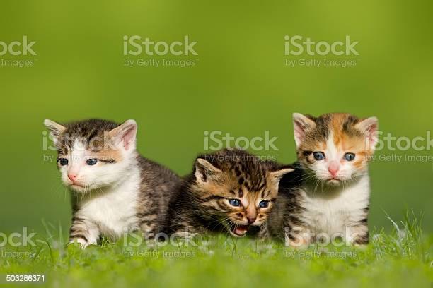 Three small cat kitten sitting on meadow picture id503286371?b=1&k=6&m=503286371&s=612x612&h=prfyjd4m9jtleyg5xysqbsxld0lwk x7ycdsy96922a=