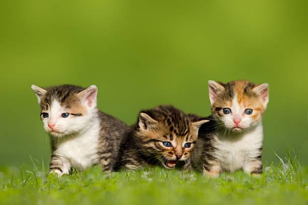 Three small cat kitten sitting on meadow picture id503286371?b=1&k=6&m=503286371&s=612x612&w=0&h=h  roosyqvnflpqts7mobww7bmhr0kobkc3agjk ccg=