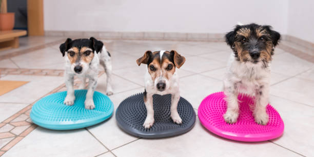three small dogs on balance pillows - Jack Russell Terrier doggies - left: broken hair 7 years old - middle: straight hair 11 years old - right: hair rough 3 years old stock photo