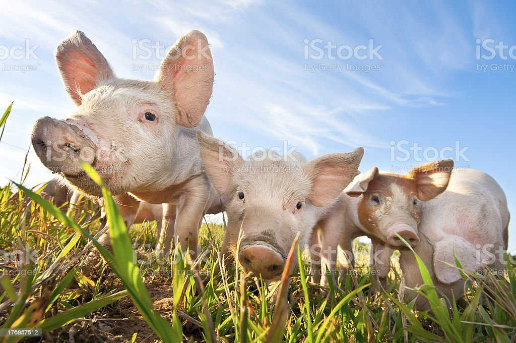 Three small pigs standing on a pigfarm stock photo