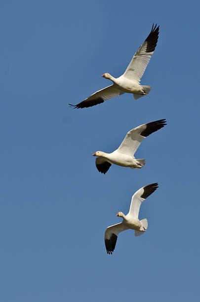 Three Snow Geese Flying in a Blue Sky Three Snow Geese Flying in a Blue Sky snow goose stock pictures, royalty-free photos & images