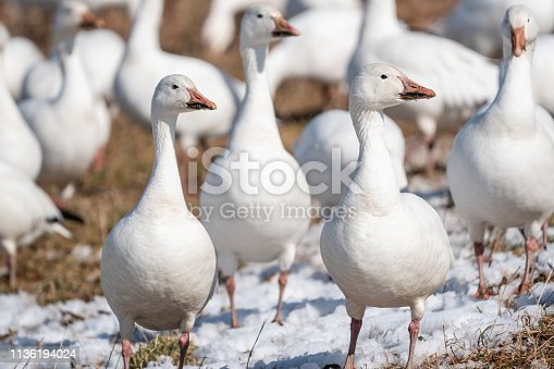 Close-up of snow goose (chen caerulescens) in field, Lancaster, Pennsylvania.