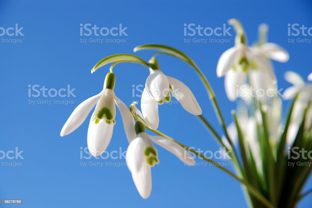 three snowdrops apart from others against blue sky royalty-free stock photo
