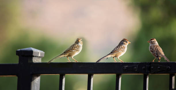 Three Sparrows on Fence stock photo