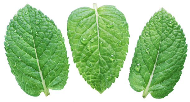 Three spearmint or mint leaves with water drops. Three spearmint or mint leaves with water drops on white background. Top view. mint leaf culinary stock pictures, royalty-free photos & images