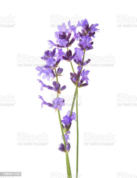 Three sprigs of lavender isolated on white background picture id1095521232?b=1&k=6&m=1095521232&s=612x612&h=alhwkr04wfg82bisoeqqlzgzmjk9wolp4vkhlhhoofc=