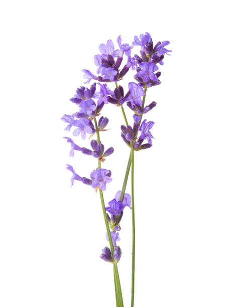 Three sprigs of lavender isolated on white background picture id1095521232?b=1&k=6&m=1095521232&s=612x612&w=0&h=hyosumugyfxqjgo  ldgxefcnm 656bsorvmeyuq2 4=