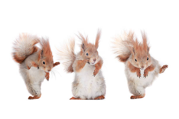three squirrels - squirrel stock photos and pictures