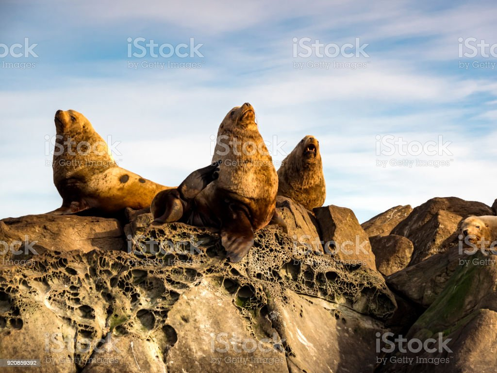 Three Steller Sea Lions (Eumetopias jubatus) stock photo
