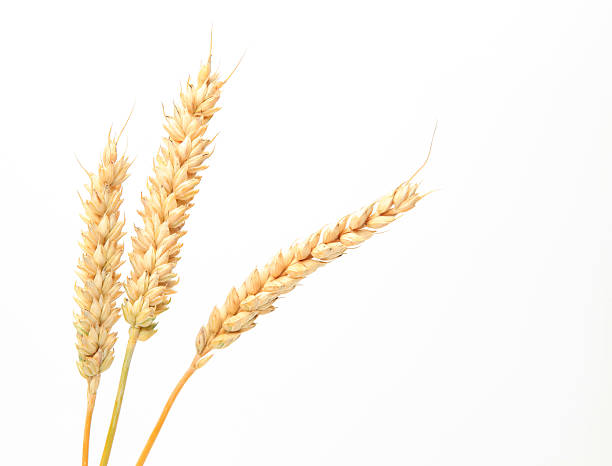 Three stems of wheat on a white background. wheat stems isolated on white plant stem stock pictures, royalty-free photos & images